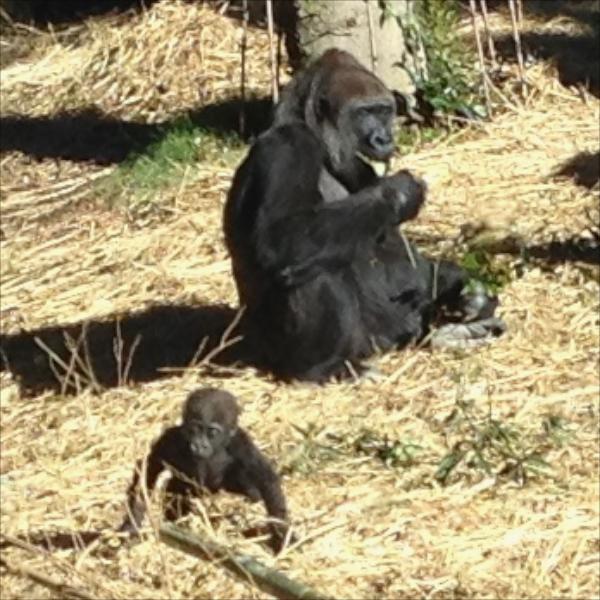 上野動物園・子ゴリラ