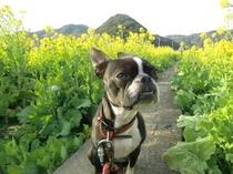 かりん 南伊豆菜の花