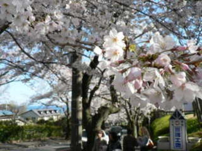 伊豆高原桜祭り