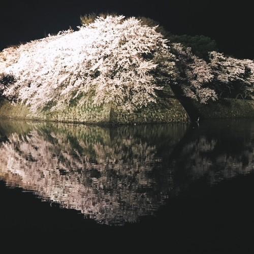 彦根城 桜ライトアップ