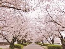 近隣の桜並木の風景