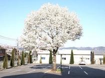 サンクラウンのシンボル「こぶしの木」
