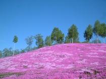 【芝桜公園】芝桜をヘリコプターで上空から見ることも出来る♪(有料・期間限定)