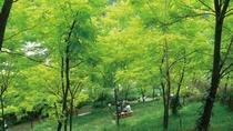 アカシアの新緑