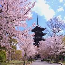 ■東寺 桜