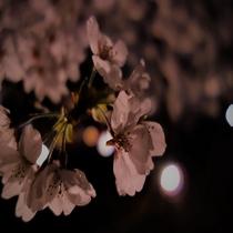 ■桜 ライトアップ