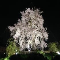 ■円山公園 夜桜