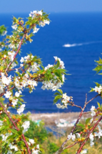 官軍塚の桜と太平洋