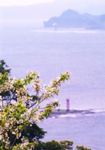 勝浦湾をバックに桜