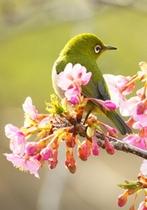 勝浦の大漁桜&メジロ (官軍塚にて)