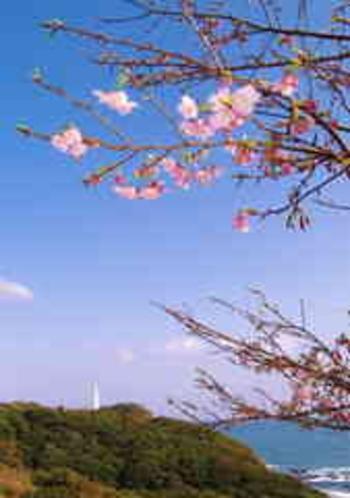 河津桜と勝浦灯台