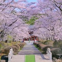 ◆蓼科山聖光寺の桜
