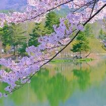 ◆蓼科湖の桜