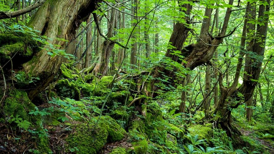 蓼科大滝遊歩道◆滝へ向かう遊歩道は苔むした原生林が神秘的
