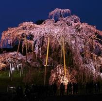 三春の夜桜