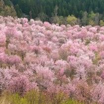 裏磐梯の桜峠