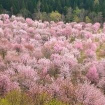 裏磐梯 桜峠