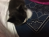 新人 猫ンパニオン 見習いです。お部屋までいけませんので お千代ちゃん