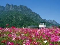 妙義山とコスモス