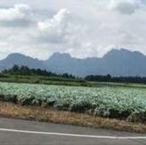 富岡製糸場までの途中にある広大なこんにゃく畑