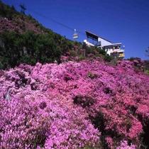 <雲仙ロープウェイ・春>一面をピンクに染めるミヤマキリシマツツジは春の名物(5月上旬~下旬)