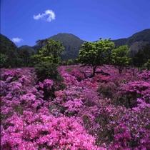 池の原のミヤマキリシマ(5月中旬が見ごろ)