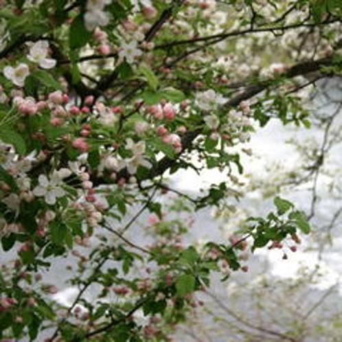 姫りんごの花・・5月