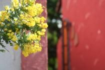 露天風呂横のミモザの木。暖かい季節には黄色い花を咲かせます。