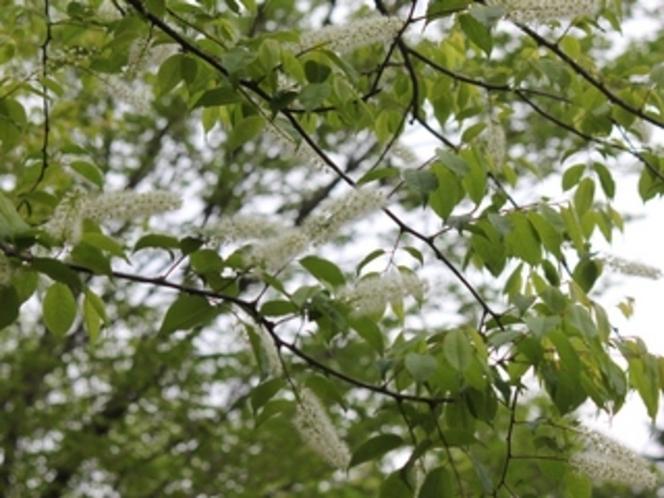春に咲くウワバミザクラ