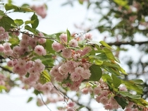 かわいい八重桜