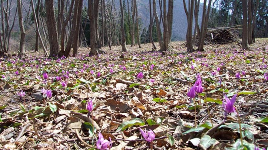 *【周辺観光】逢滝周辺にはカタクリが咲きます(例年4月下旬頃見頃)