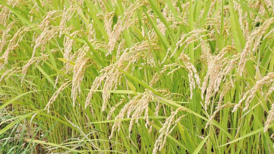 *【自家栽培のお米】雫石の豊かな自然の中丹精込めて作ったお米