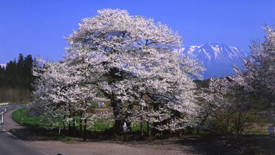 *【弘法桜】推定樹齢約800年!例年見頃4月下旬 ~ 5月(車で約20分)