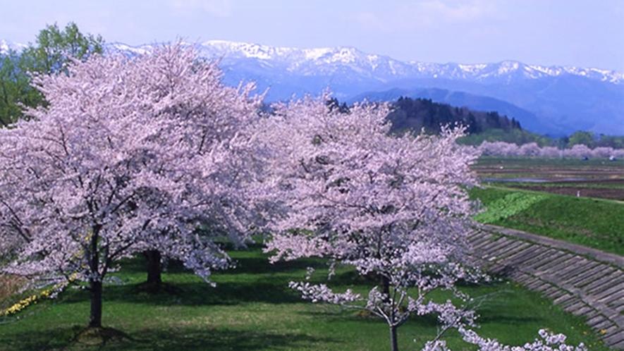 *【雫石川園地の桜】例年見頃は4月下旬~5月上旬(車で約15分)