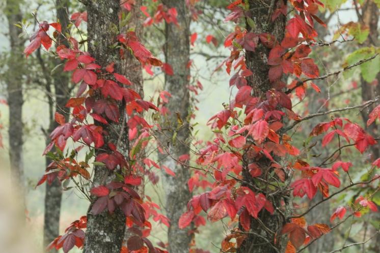 ツタウリシの紅葉1
