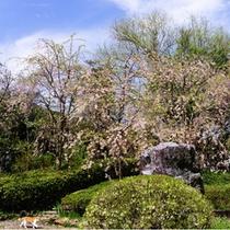 千坪の日本庭園『桜』