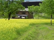 魚沼の里 菜の花畑