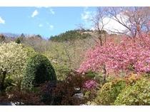 ウコン桜とカンザン