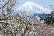 梅林からの富士山