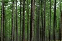 唐松の木立