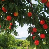 【くだもの狩り】(夜間瀬は果物の宝庫♪様々な種類の桃をお楽しみいただけます。8月中旬頃)