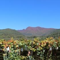 【山】実りの季節を迎えた夜間瀬の広大な葡萄園と紅葉の高社山(こうしゃさん)♪