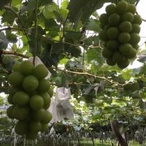 【くだもの狩り】(夜間瀬は果物の宝庫♪様々な種類の美味しい葡萄をお楽しみいただけます。当館果樹園)