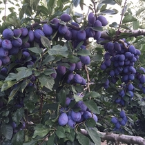 【フルーツ】 (夜間瀬は果物の宝庫♪当果樹園のたわわになるプルーン8月下旬~9月上旬)