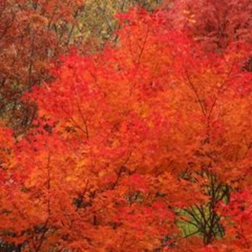 紅葉の旭岳5