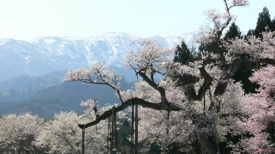 *【周辺観光】朝日連峰と桜回廊