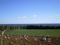 安納さげ芋収穫八ちゃん畑