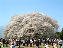 一心行の桜