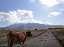 あか牛(阿蘇の大草原で放牧)