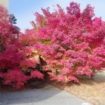 当館敷地内の紅葉(シーズンは例年10月中下旬頃~11月上旬頃)